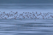 A large flock of Dunlin (Calidris alpina), displaying breeding plumage, fly at high tide over the Bowerman Basin, located in the Grays Harbor National Wildlife Refuge in Washington state. A long exposure shows the motion of the birds. More than 30,000 shorebirds pass through the refuge each spring on their way to breeding grounds in the far North..