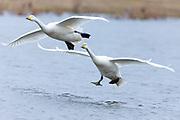 Pair of Whooper Swan, Cygnus cygnus, in flight and landing with wings spread wide at Welney Wetland Centre, Norfolk, UK