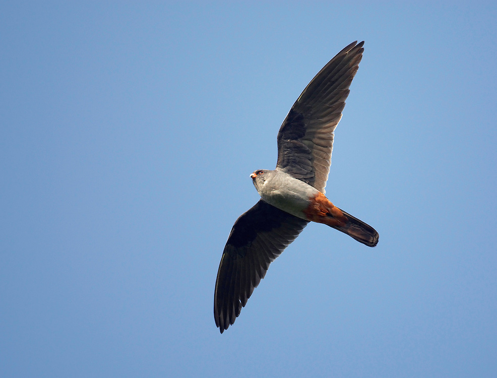 Red-footed Falcon (Falco vespertinus) Pusztaszer Nature Reserve, Hungary