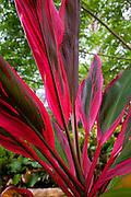 Ti plant, Lava Tree State Park, Puna, Island of Hawaii