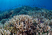 Staghorn Coral (Acropora sp.) in Komodo National Park, Indonesia.