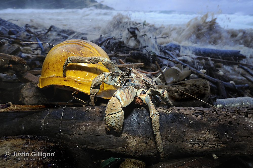 Robber crab and debris from MV Tycoon accident off Christmas Island, Australia, Indian Ocean.