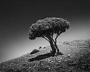 Broccoli Tree, Yellowstone, MT