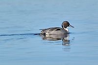 Northern Pintail (Anas acuta) male, Goose Spit, Vancouver Island, Canada   Photo: Peter Llewellyn