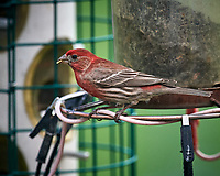 House Finch. Image taken with a Nikon D5 camera and 600 mm f/4 VR lens (ISO 1600, 600 mm, f/5.6, 1/640 sec).