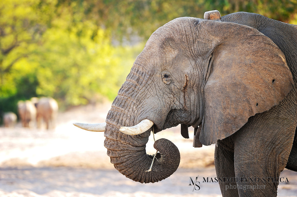 Namibia's desert elephants are a source of great interest and this page aims to provide information and photos of the desert elephants from the Southern Kunene Region of Namibia, Africa.Although not a separate species, and not much different from other savannah elephants Loxodonata africana africana, Namibia's desert-dwelling elephants are special nonetheless.  They are of high national and international conservation priority, and have been designated as top priority for protection by the IUCN (International Union for the Conservation of Nature).  They live in the Kunene Region,  encompassing 115,154km2 of mostly sandy desert, rocky mountains and arid gravel plains in Namibia's northwest.They have adapted to their dry, semi-desert environment by having a smaller body mass with proportionally longer legs and seemingly larger feet than other elephants. Their physical attributes allow them to cross miles of sand dunes to reach water. They have even been filmed sliding down a dune face to drink at a pool in a desert oasis.<br />
