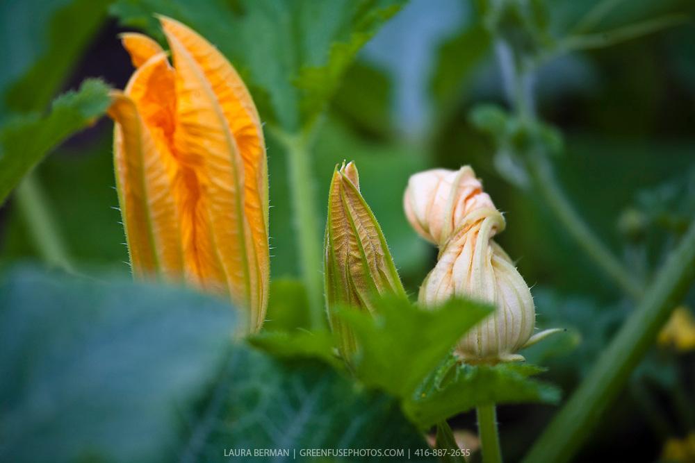 Zucchini flowers.