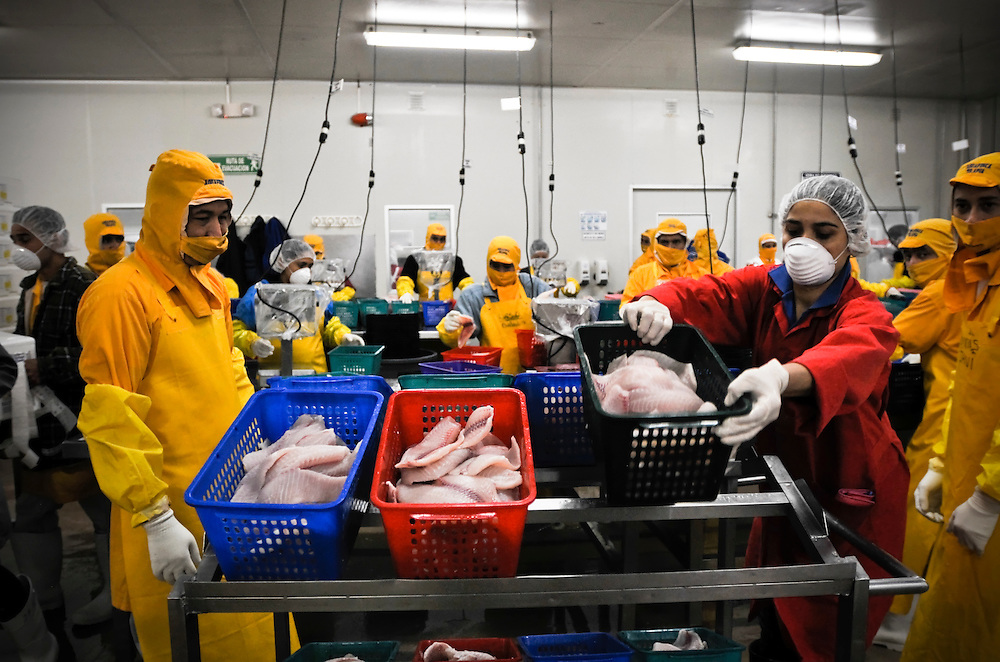 Workers sort tilapia fillets at the Regal Springs processing plant in El Boroboton, San Francisco de Yojoa, Honduras. Regal Springs is one of the largest producers of aqua farmed tilapia in the world. They ship approximately 70,000 pounds of tilapia to the United States every day.