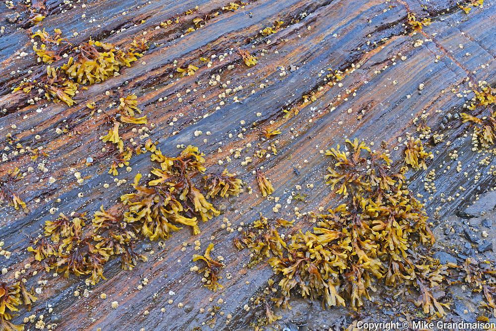 Seaweed on rock at low tide, Prince Rupert, British Columbia, Canada