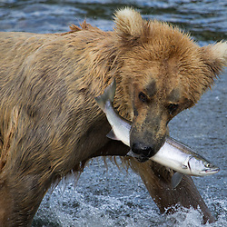 Brown bear with freshly caught fish at Brooks Falls in Katmai National Park.