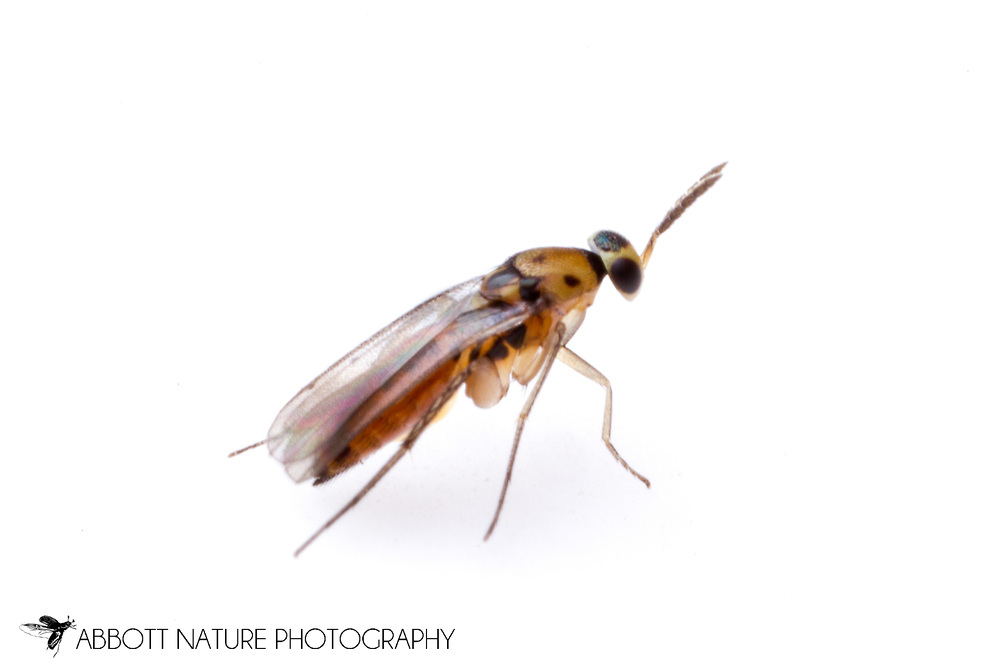 Chalcid Wasp (Elasmus polistis)<br /> TEXAS: Travis Co.<br /> Hornsby Bend Wastewater Treatment Facility; Austin<br /> N30.23236 W97.65362 6-Oct-2012<br /> J.C. Abbott #2625