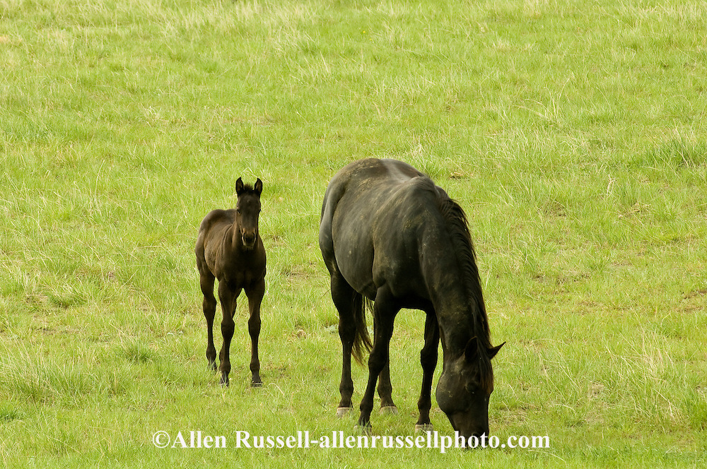 Quarter Horses, mare and foal<br /> PROPERTY RELEASED