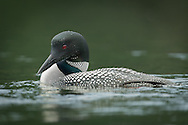 Loon looking in water for fish