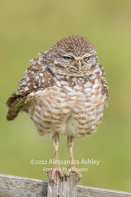 Burrowing owls (Athene cunicularia) can appear larger than actual size when exhibiting the behavior of ruffling feathers. Image published in Wild Planet magazine, August 2016 issue in Photo of the Month gallery.