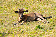 Young Blue Wildebeest (Connochaetes taurinus), Ngorongoro Conservation Area, Serengeti, Tanzania.