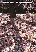 Tulip Tree flowers, Philadelphia gardens and arboretums, Villanova University, Radnor, Delaware Co., PA