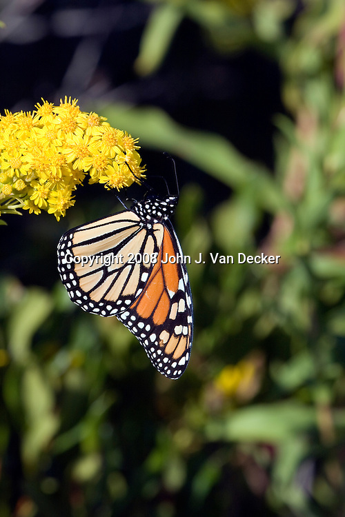 Monarch Butterfly on Seaside Goldenrod with wings folded