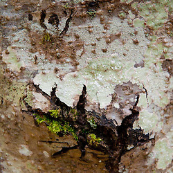 Tree Bark and Moss, San Juan Island, Washington, US