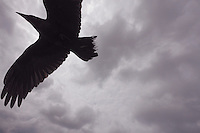 Raven (Corvus corax) Ireland Burren region