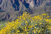 Brittlebush (Encilia farinosa) and the Santa Inez Mountains in the Anza Borrego Desert, California, USA