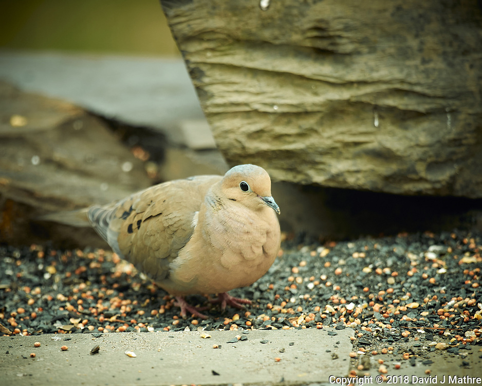Mourning Pidgen. Image taken with a Nikon D4 camera and 600 mm f/4 VR lens (ISO 280, 600 mm, f/4, 1/200 sec).