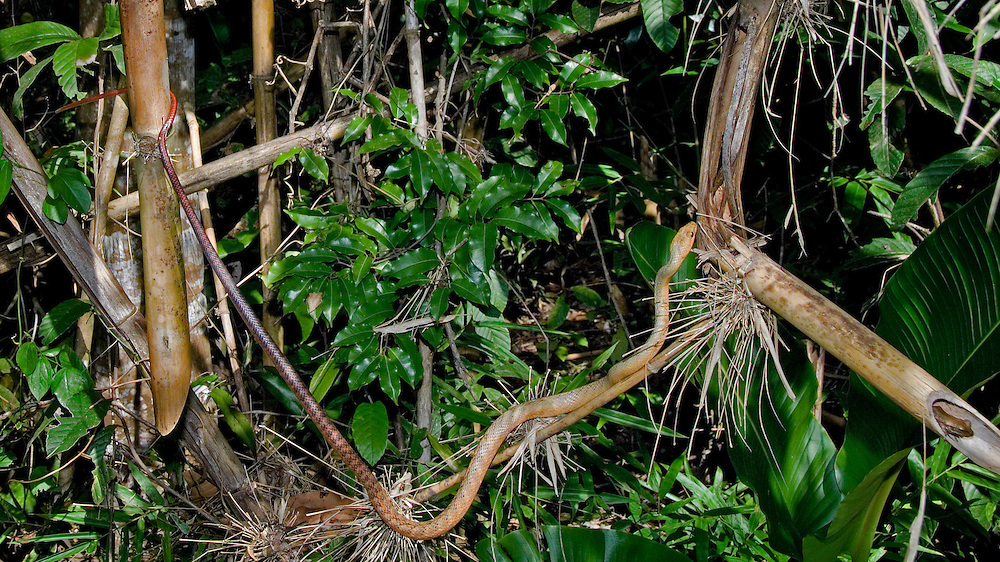 Fandrefiala Snake hunting Frog (Ithycyphus perineti)