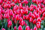 AMSTERDAM - Op de Dam worden tulpen geplukt tijdens Nationale Tulpendag. Kwekers hebben op de Dam een pluktuin aangelegd met 200.000 tulpen in verschillende kleuren.  met het koninlijk paleis op de achtergond ANP ROBIN UTRECHT