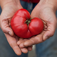 A Love Apple: a heart-shaped Brandywine tomato in a farmer's hands