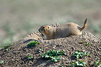 Black-tailed Prairie Dog (Cynomys ludovicianus),  Badlands National Park, North Dakota   Photo: Peter Llewellyn