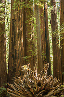 Fourteen year old Helena explores Armstrong Redwoods State Natural Reserve, Sonoma County, California