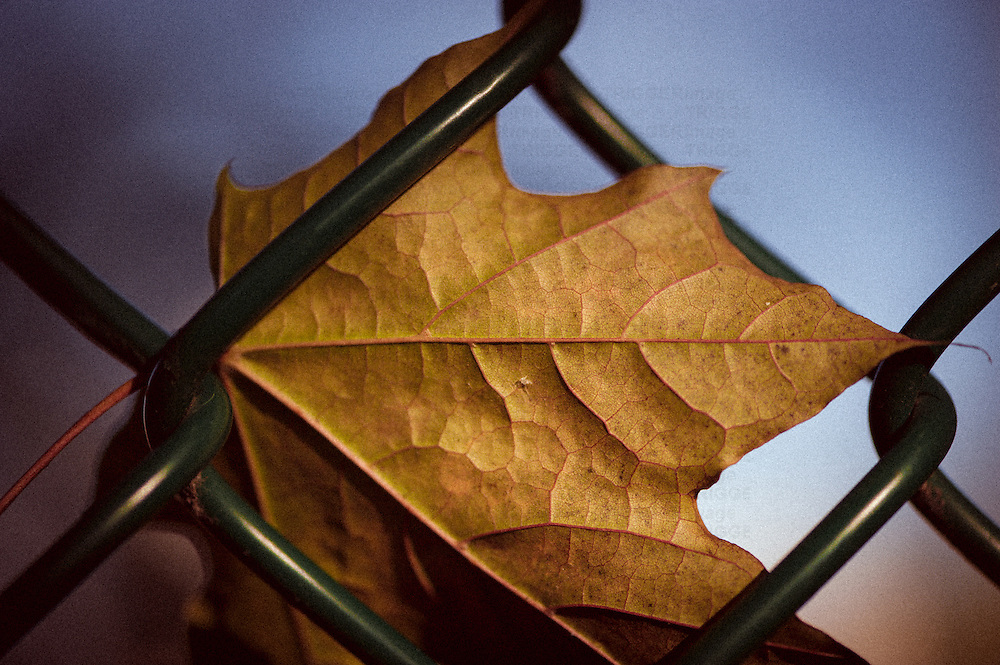 A leaf on a wire fence