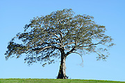 A lone tree on a hill, East Coast Australia.