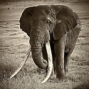 &ldquo;Long Tusker&rdquo;                                                   Tanzania<br />