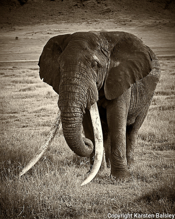 &ldquo;Long Tusker&rdquo;                                                   Tanzania<br />  I came across this old elephant in the Ngorongoro Crater. He is by far the largest and most majestic elephant I have ever seen!