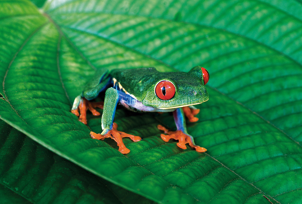 Red-eyed Tree Frog (Agalychnis callidryas) in Caribbean rainforest. Tortuguero National Park, Costa Rica.<br />