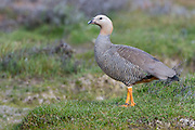 Ruddy-headed goose (Chloephaga rubidiceps) from Saunders Island, the Falkland Islands.