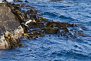 Penguins can fly!  A cliff-jumping Yellow-eyed penguin, Stewart Island, New Zealand