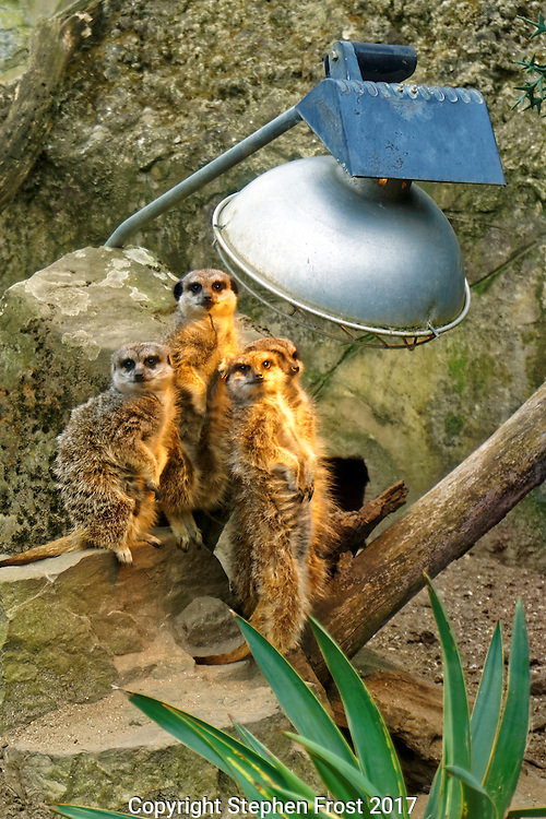 A gang of meerkats get warm under a sun lamp on a chilly spring morning.
