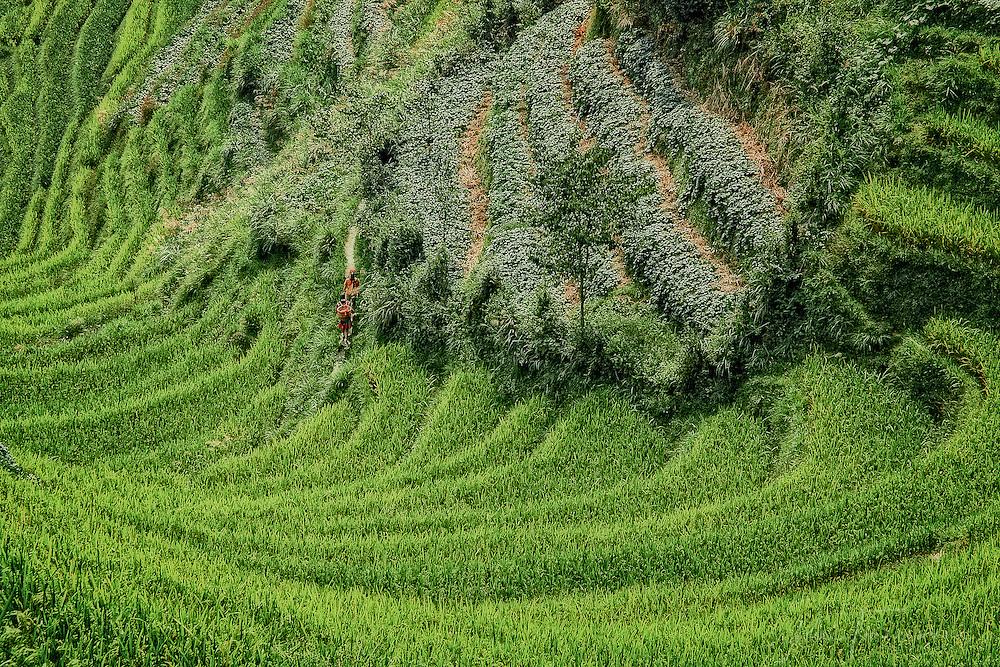 Tribal Zhuang women walking through the terrace rice fields at Pingan Longsheng.
