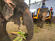 "28 AUGUST 2014 - BANGKOK, THAILAND:   An elephant eats pineapple tops in the corral at the King's Cup Elephant Polo Tournament at VR Sports Club in Samut Prakan on the outskirts of Bangkok, Thailand. The tournament's primary sponsor in Anantara Resorts. This is the 13th year for the King's Cup Elephant Polo Tournament. The sport of elephant polo started in Nepal in 1982. Proceeds from the King's Cup tournament goes to help rehabilitate elephants rescued from abuse. Each team has three players and three elephants. Matches take place on a pitch (field) 80 meters by 48 meters using standard polo balls. The game is divided into two 7 minute ""chukkas"" or halves.      PHOTO BY JACK KURTZ"