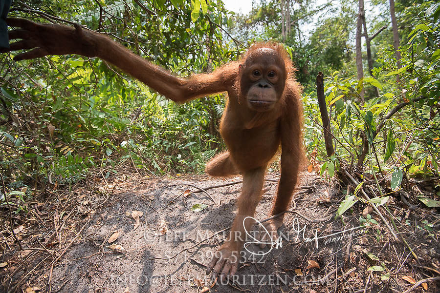 A juvenile Bornean orangutan, Pongo pygmaeus swings its arm as it walks through the forest in Borneo, Indonesia.