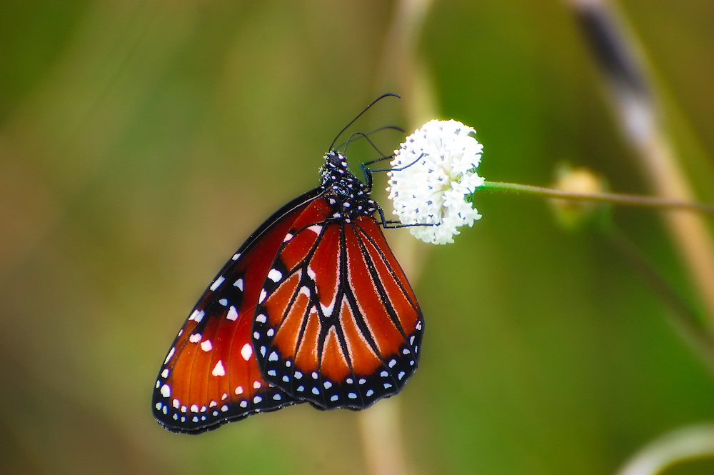 Queen butterfly feeding on a wildflower in the Big Cypress National Preserve. This is a butterfly nearly always found in and around wetlands in South Florida with lots of wildflowers.