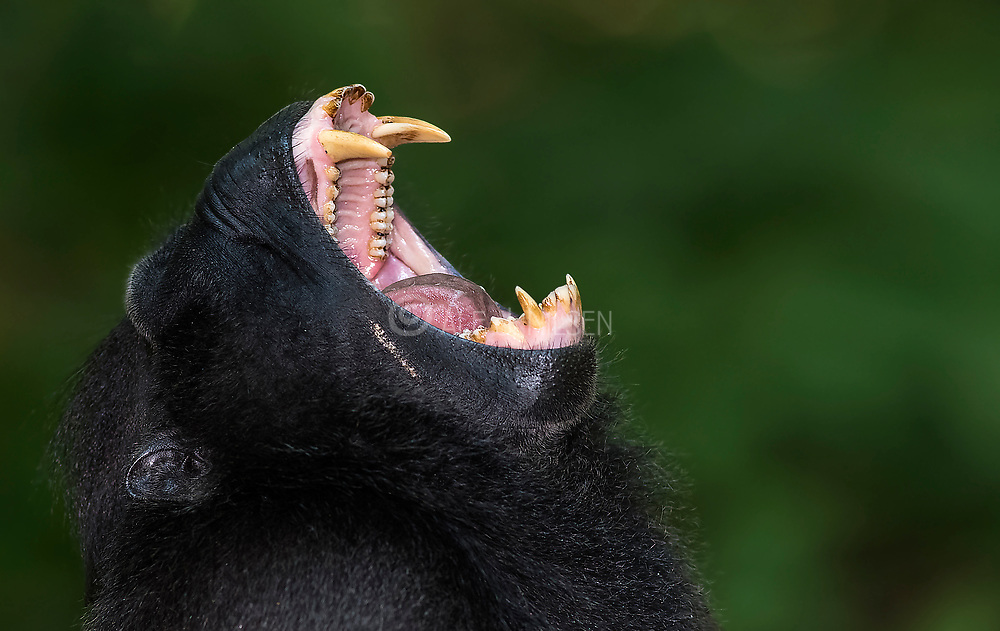 The mouth and teeth of the critically endangered Crested Black Macaque (Macaca nigra). Tangkoko Nature Reserve, northern Sulawesi, Indonesia.