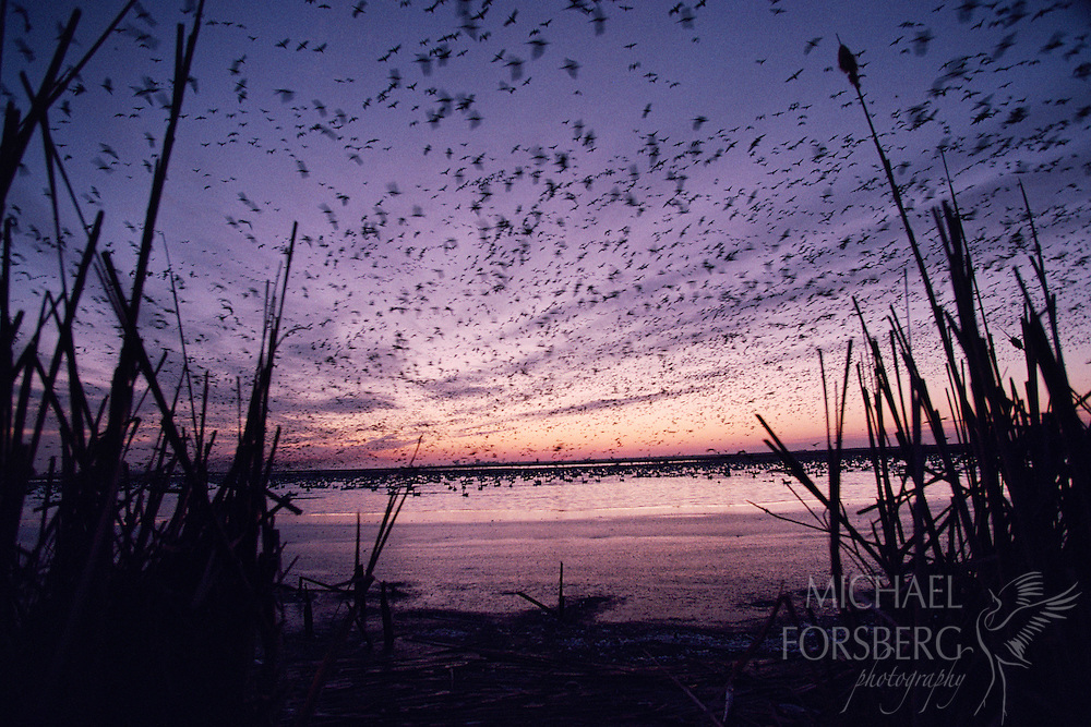 Silhouettes of snow geese taking flight at dawn cover the purple sky.  Funk Lagoon Waterfowl Production Area, Nebraska.