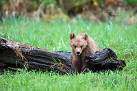 Grizzly bear cub, Khutzeymateen Grizzly Bear Sanctuary in British Columbia, Canada