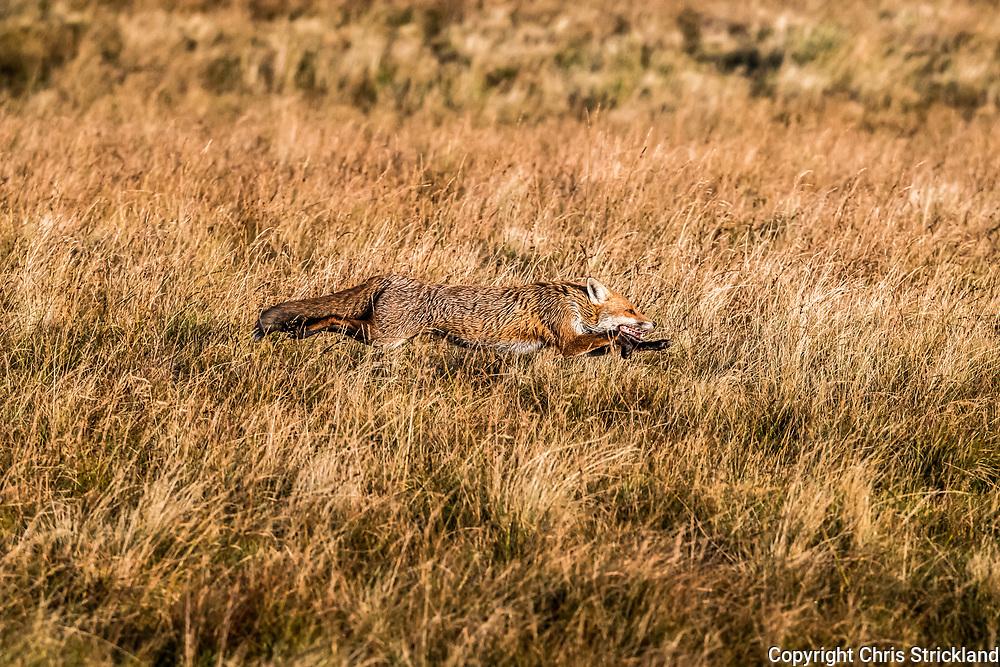A Red Fox galloping in full flight.
