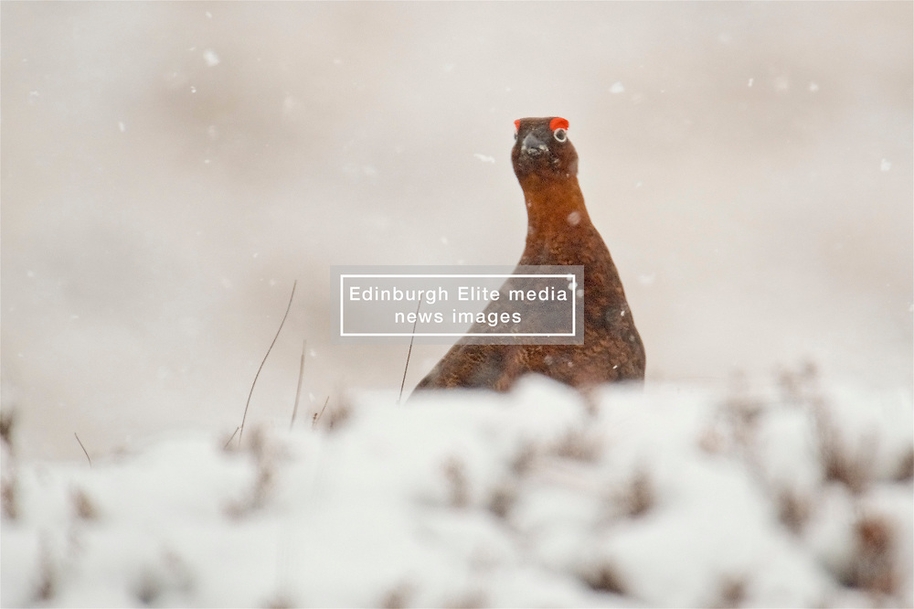 A Red Grouse in the Cairngorms hunkers down the as Storm Doris hits the UK. 23rd Feb 2017 (c) Brian Anderson | Edinburgh Elite media