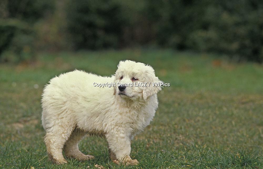Polish Tatra Sheepdog,   Pup standng on Grass