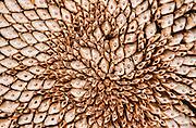 Dried Sunflower husk, Austin, Texas, August 10, 2015.