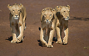 Three young lions walking on the banks of Ewaso Ng'iro, Samburu National Reserve, Kenya.